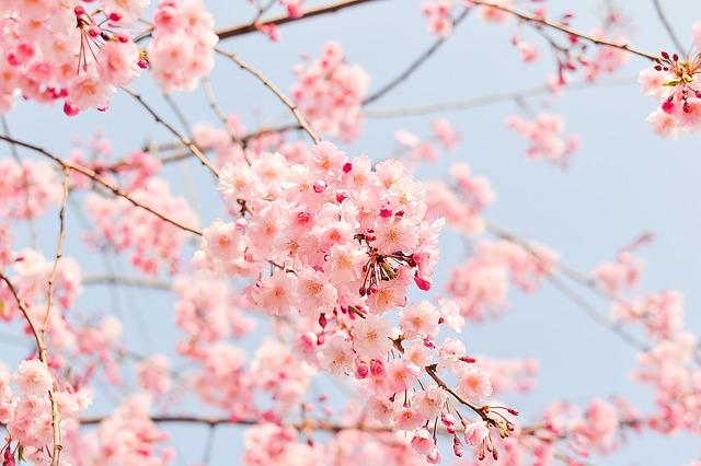 茨城県つむぎ保育園龍ヶ崎園 桜写真