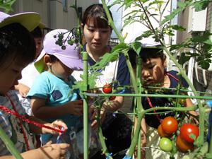 茨城県つむぎ保育園龍ヶ崎園 トマト収穫写真