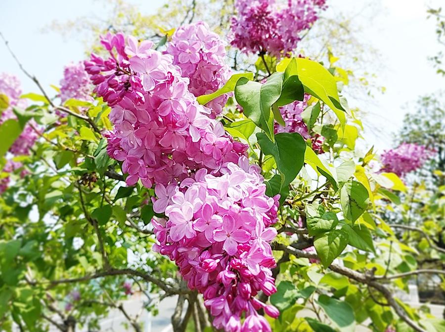 茨城県つむぎ保育園龍ヶ崎園 春の花の写真