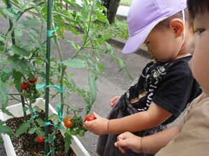 茨城県つむぎ保育園龍ヶ崎園 食育 トマト収穫写真