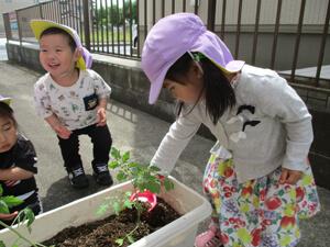 茨城県つむぎ保育園龍ヶ崎園 トマト育成写真