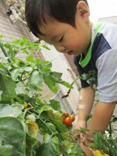 茨城県つむぎ保育園龍ヶ崎園 トマト収穫こども写真